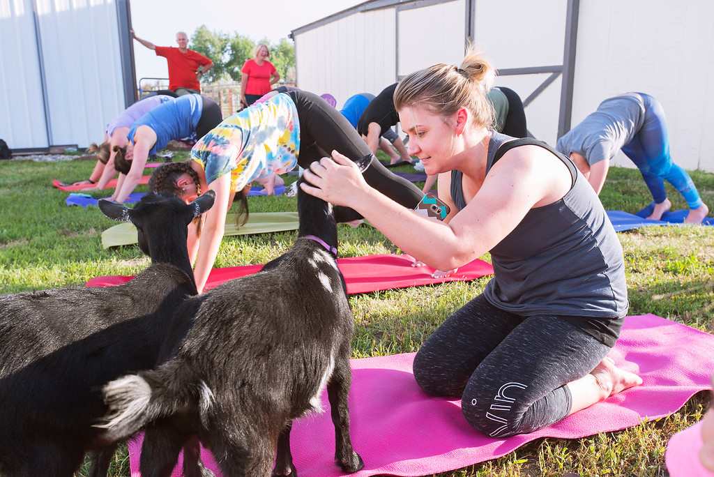 . F0613GOATYOGA02 Katie Kapelke of Westminster gets in some pets on one of the goats at the Mother Ranch\'s Goat Yoga event in Longmont Colorado on Wed, June 6, 2018  Photo by: Jonathan Castner