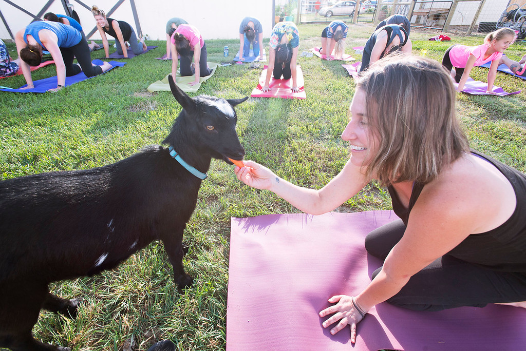 . F0613GOATYOGA01 Yoga instructor Jessie Fliss gives a snack to one of the goats at the Mother Ranch\'s Goat Yoga event in Longmont Colorado on Wed, June 6, 2018  Photo by: Jonathan Castner