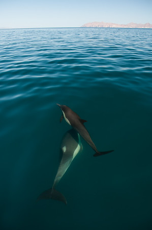 Two common dolphins seen through the clear surface waters of the gulf