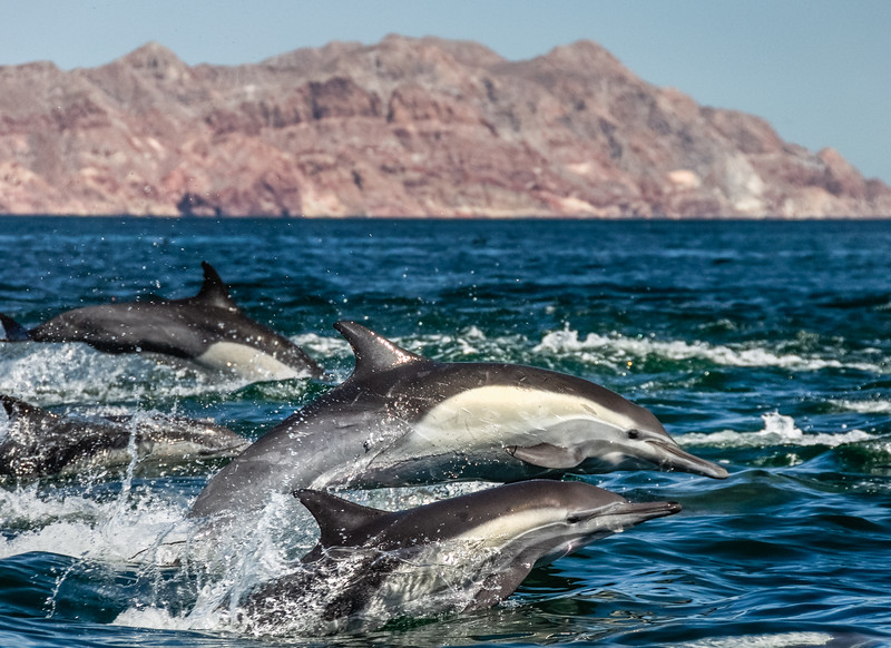 A pod of common dolphins transiting in front of Isla Datil