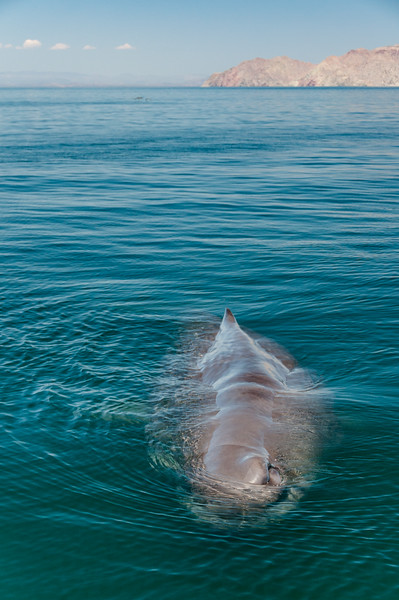 A solitary young sperm whale investigating our small boat by Isla Datil