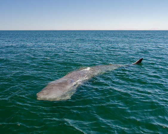 A young sperm whale takes a curious look at us in the Gulf of California