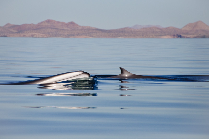 A fin whale cow and calf pair surfacing in glassy conditions