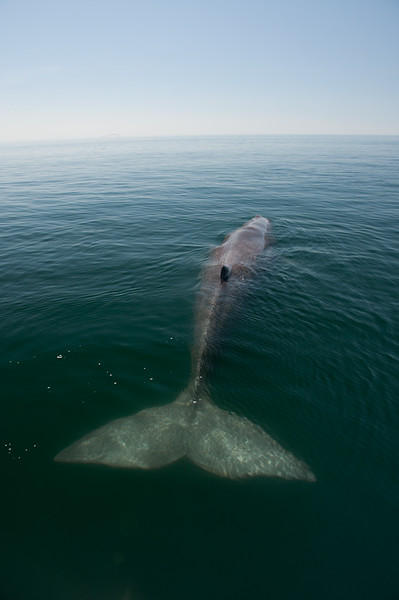 The immense tail fin of a sperm whale resting on the surface