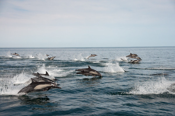 A transiting pod of common dolphins.  A calf is clearly viable in the center of the frame.