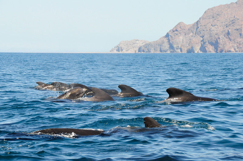 A pod of transiting short-finned pilot whales