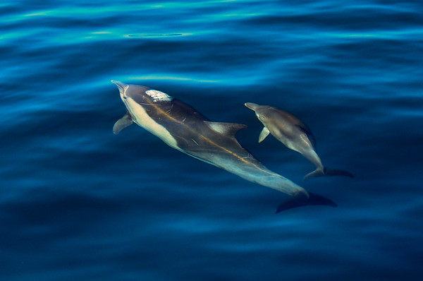 A common dolphin and young calf