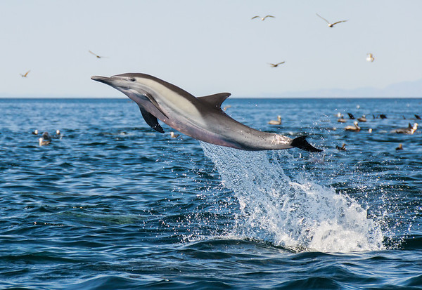 An energetic leap of a common dolphin during a feeding frenzy.