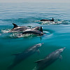 A pod of Bottlenose Dolphins (Tursiops truncatus) porpoises on the glassy surface of the Gulf of California.