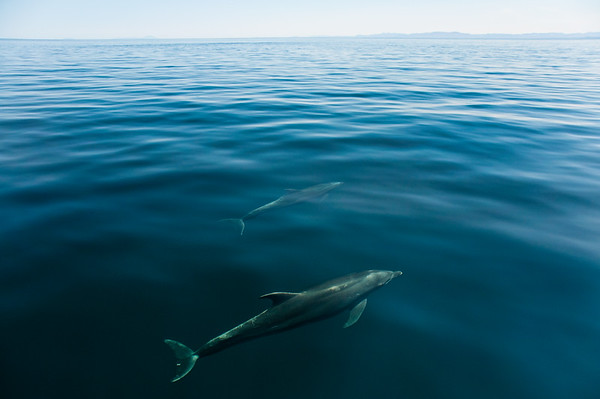 Two Bottlenose Dolphins (Tursiops truncates) swim just below the surface on a calm day in the Gulf of California.