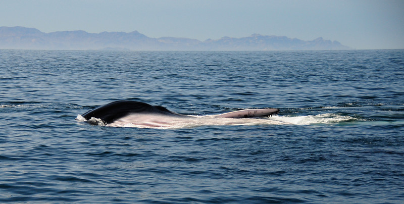 A lunge-feeding fin whale