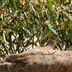 Grass Parrot NR5_1483