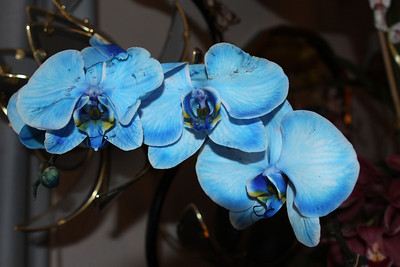Blue orchid's from Theresa.