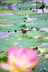 Bird gathering materials on Lotus pond in Zionsville IN