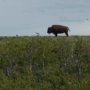 Bison Paddock - Waterton Lakes National Park