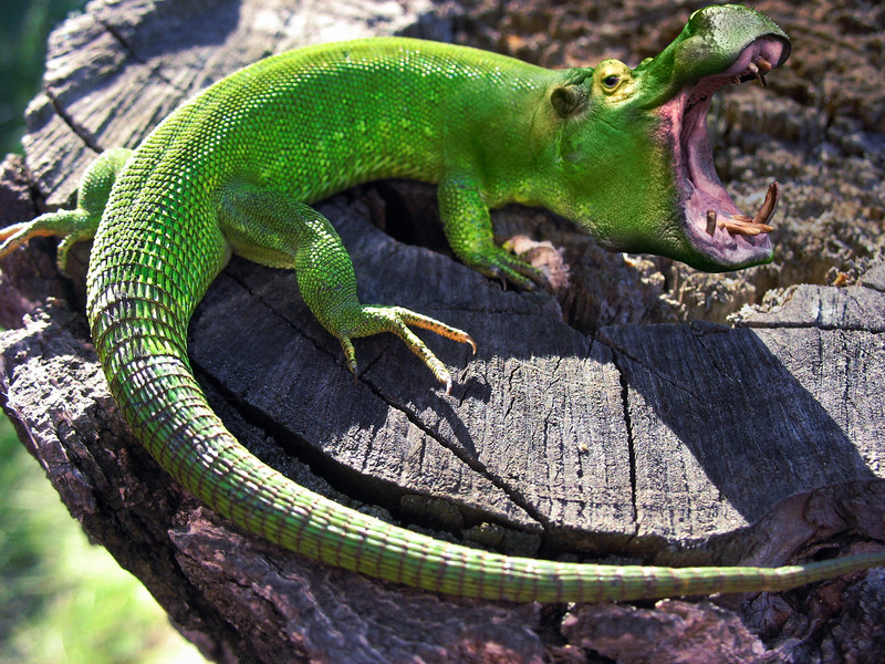 Attack or defence of green lizard
