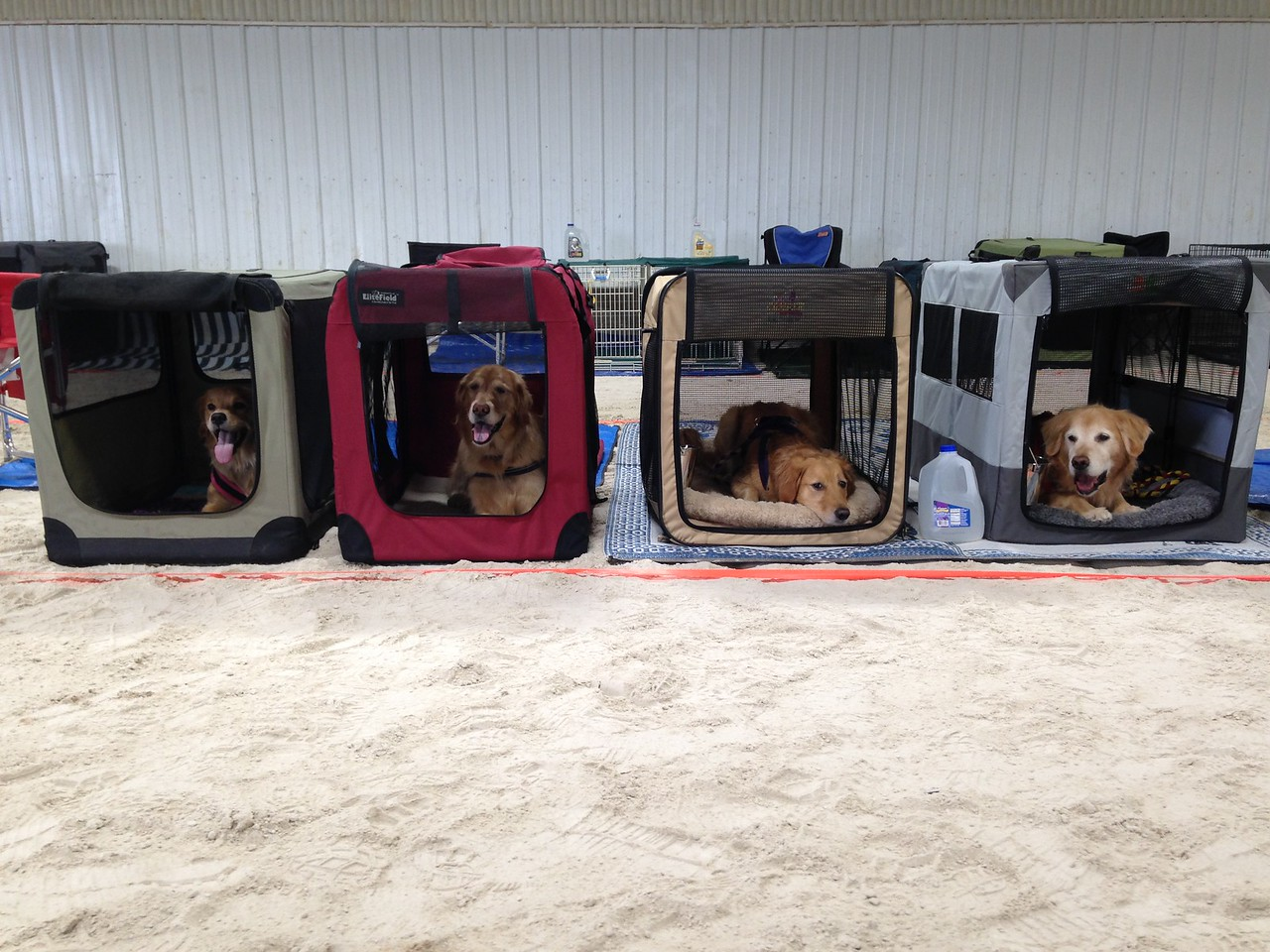 Ready for the 2015 Golden Retriever National Specialty!