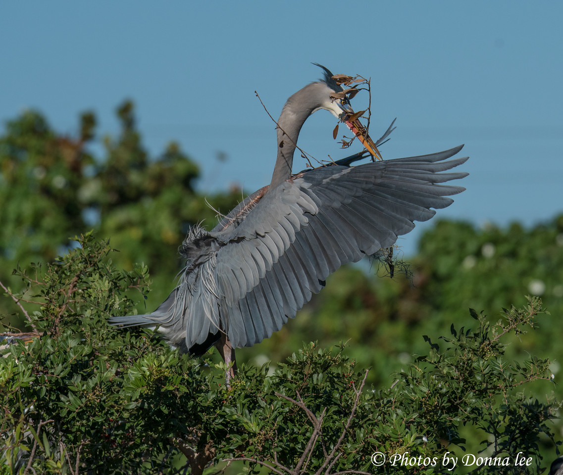 GREAT BLUE HERON WITH NESTING MATERIALS (A)