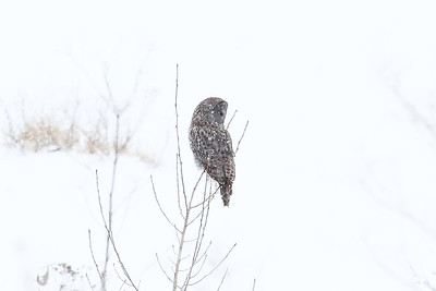 GREAT  GRAY  OWL  Jan 28, 2017