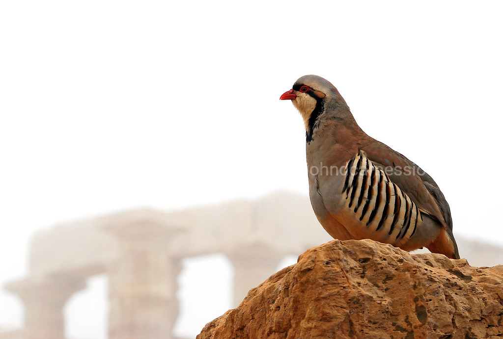 A grouse captured against the foggy background of God Poseidon's Temple, at Sounion Cape