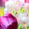 Tulips and Freesia