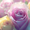 Suzie's Roses