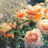 Peach Rose Garden