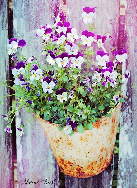 Violets in a Rusty Bucket