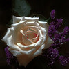 Moody White Rose