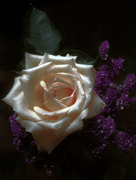 Moody White Rose