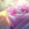 Suzie's Roses 2