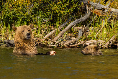 Mom's main job is to teach the cubs how to swim and fish