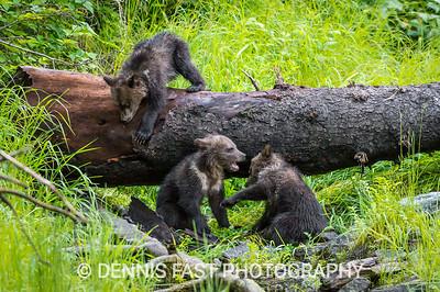 Grizzly Bear (Ursus arctos horribilis) off northwest coast of British Columbia