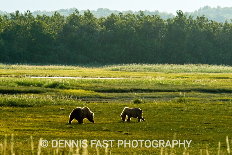 Two Alaskan Brown Bears (Ursus Arctos) grazing in grassy meadow rim lit by setting sun in Katmai National Park and Preserve, Kodiak, Alaska, USA.