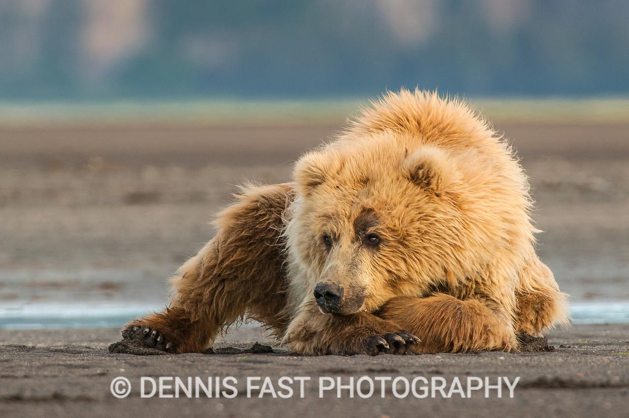 Blonde Alaskan Brown Bear (Ursus Arctos) relaxing on the beach, Katmai National Park and Preserve, Alaska