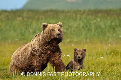 Alaskan Brown Bear (Ursus arctos) with young cub in green meadow in Katmai National Park, Alaska