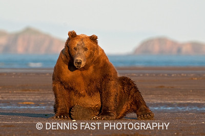 Huge male Alaskan Brown Bear (Ursus Arctos) relaxing on the beach in Katmai National Park and Preserve, Kodiak, Alaska, USA.
