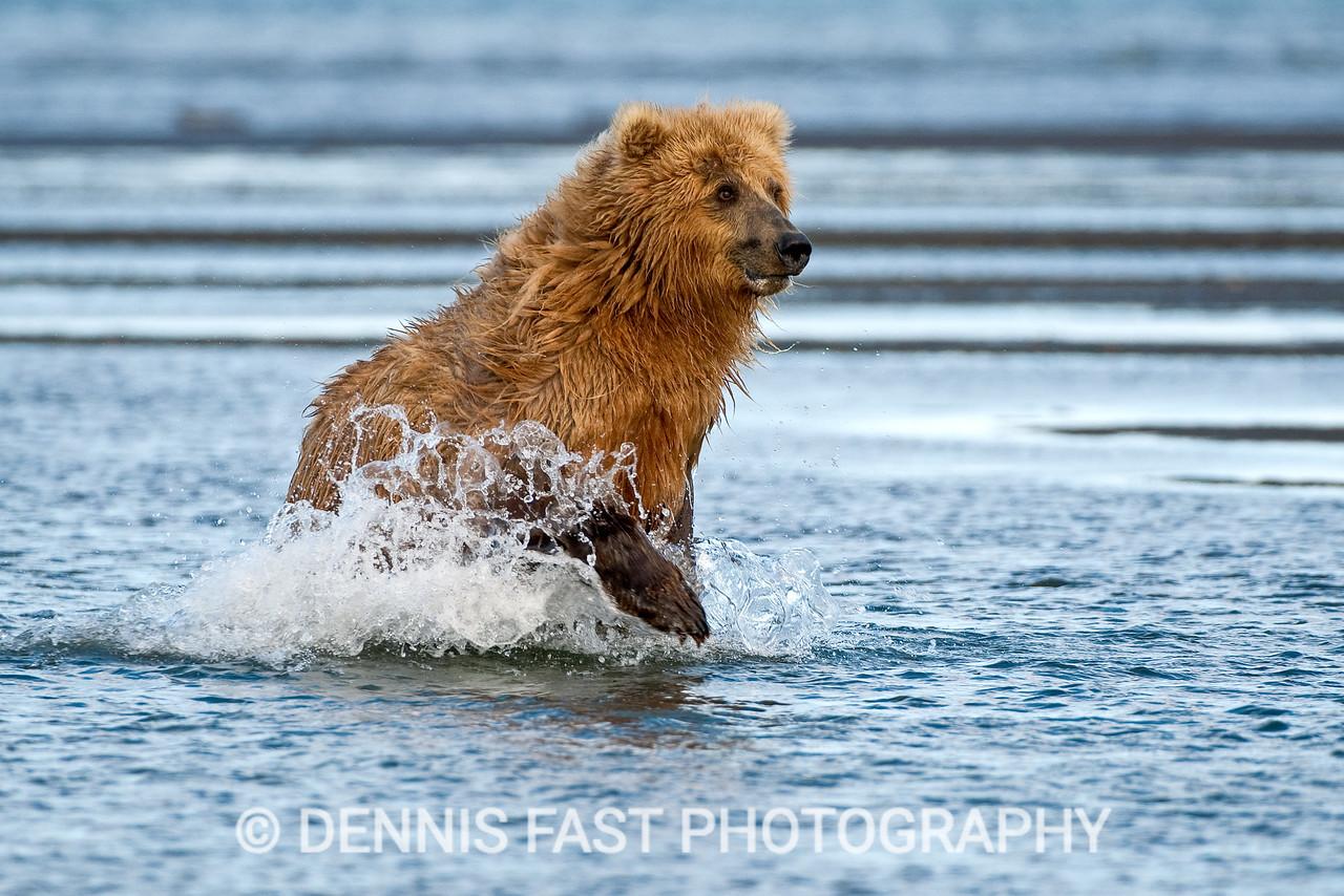 Alaskan Brown Bear (Ursus Arctos) chasing salmon in river delta, Katmai National Park and Preserve, Kodiak, Alaska, USA.
