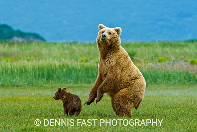 Watchful Alaskan Brown Bear (Ursus Arctos) mother and young cub in grassy meadow, Katmai National Park and Preserve, Kodiak, Alaska, USA