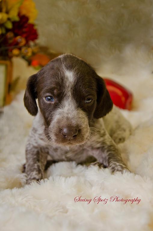 GSP Puppies Week 3