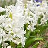 April 2013 white hyacinth (2)