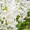 April 2013 white hyacinth (3)