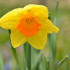 April 2013 Daffodil  (2)