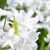 April 2013 white hyacinth (5)