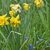 April 2013 Daffodil