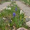 April 2013 white hyacinth