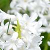 April 2013 white hyacinth (4)
