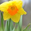 April 2013 Daffodil  (3)