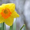 April 2013 Daffodil  (4)