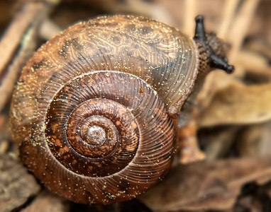 Snail of Red Top